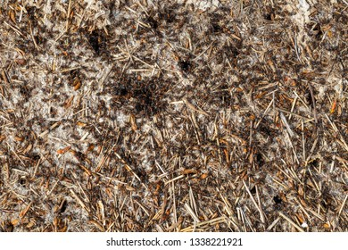 Colony of red ants. Anthill.