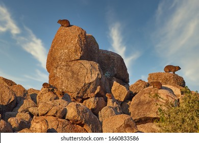 Colony of  Rock Hyrax, Procavia capensis. Animals on red granite rock against colorful sunset. African wildlife experience. Traveling  Pilanesberg national park, South Africa.