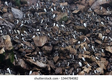 Colony of sea birds of sheer cliffs, Newfoundland, Canada