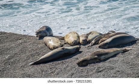 Colony of sea lions and elephant seals at Peninsula Valdes, Patagonia, Argentina
