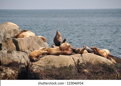 Colony of sea lions at Resurrection Bay (Alaska)