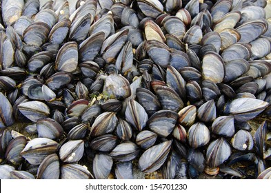 Colony of sea mussels