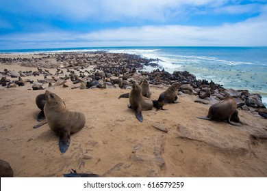 colony of seals playing with puppies cape cross namibia