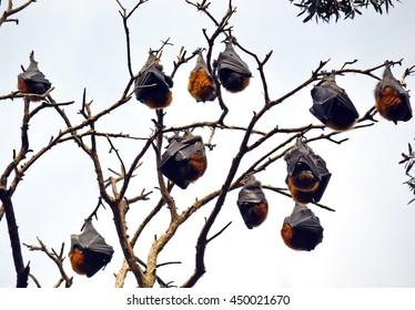 Colony of sleeping Grey Headed Flying Foxes (Fruit bats) in Sydney, Australia