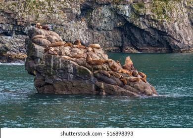 Colony of Steller sea lions on islet at Resurrection Bay. Alaska.