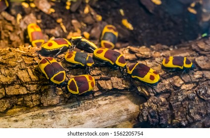 colony of sun beetles on a tree branch, tropical scarab beetle specie from Africa