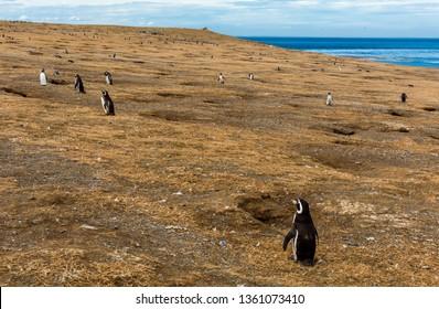 Colony of wild Magellanic penguins (Spheniscus Magellanicus) on a coast of Magdalena island, Chile