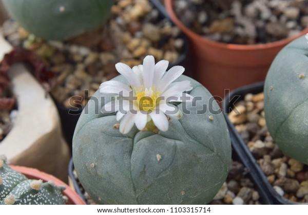 color cactus for decoration (focus flower)