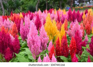 The color of Celosia Plumosa