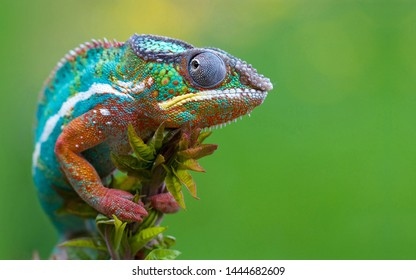 Color changer reptile animal chamaeleo