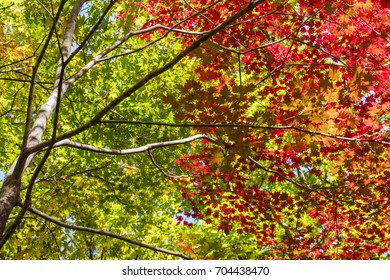 Color changing leaves in autumn, Japan