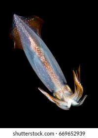 Color changing squid, image at night in the Atlantic Ocean.