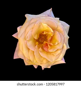 Color fine art still life bright floral macro of a single isolated orange pink yellow rose blossom, black background,detailed texture,vintage painting style