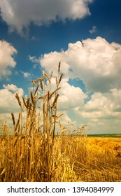 Color image. Countryside, large field with rye. At the front there are spikelets of wheat. Vertical frame. Summer day. Ukraine. Kiev region