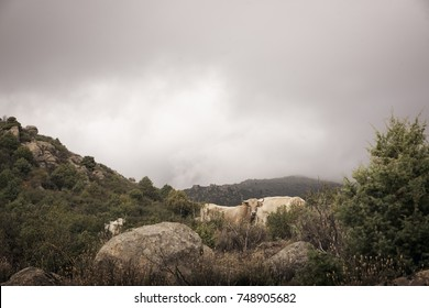 Color image of a group of cows grazing on a hill. On a cloudy and cold autumn day.