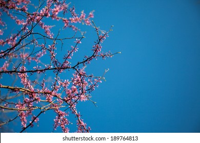 Color image of redbud flowers on a tree.