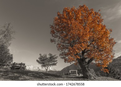 Color isolation effect of autumn colored oak tree with dolomitic Catinaccio - Rosengarten peaks in the background, Tires Valley, South Tyrol, Italy. Concept: autumn landscape in the Dolomites