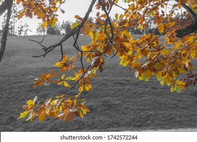 Color isolation effect of oak leaves and branches in autumn, Collepietra - Steinegg, South Tyrol, Italy. Concept: autumn landscape in the Dolomites