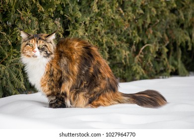 Color Maine coon winter