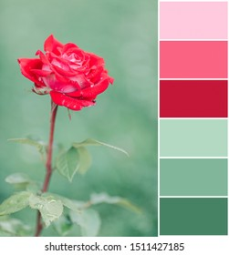 Color mutching palette of pink rose on mint green background