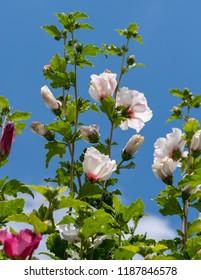 Hibiscus Shrub Images Stock Photos Vectors Shutterstock