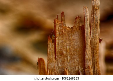 Color outdoor nature image of a broken tree trunk with a drop of tree resin and and an insect on natural blurred brown background taken on a sunny summer day
