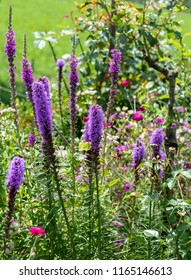 Color outdoor nature image of  violet liatris / blazing star blossoms with a  liatris /  bromstone butterfly on natural garden meadow background taken on a bright sunny summer day
