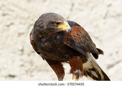 Color outdoor portrait of a single isolated dark brown curiously watching isolated single hawk with a yellow beak in sunlight with sandy background - side view, symbolic, attentive, curious