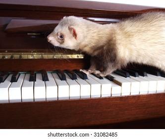 color photo ferrets, walking on the piano keys