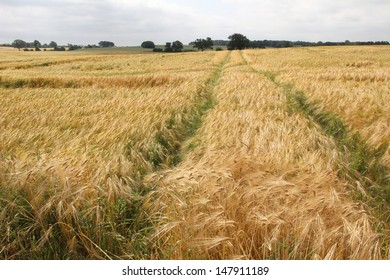 Color photo of a field of rye in the countryside