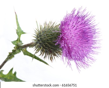 Color photo of thistle on a white background