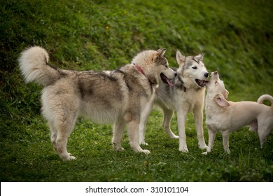 Color picture of Alaskan Malamutes playing outside