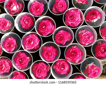 Color Roses Background. Colorful roses background wallpaper