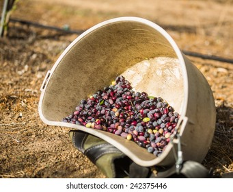 Color shot of a bucket full of multi-colored olives at a olive harvest in Paso Robles, California