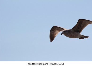 Color Shot of Flying Seagull