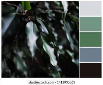 Color swatch. Green, grey and black colours. Harmonious color combinations. Ficus tree color palette.