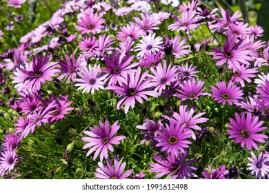 Color your spring garden with osteospermum. Blooming osteospermum plant. Cape daisies in bloom