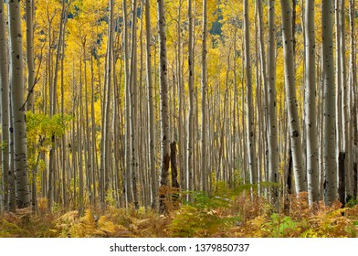 Colorado aspen tree grove with white birch style tree trunks. Standing tall in a forest with fern vegetation as a woodland floor.