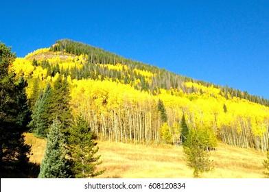 Colorado Aspen Trees along I-25 in Avon, CO