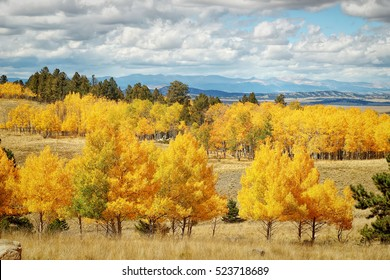 Colorado Aspens in the fall.