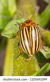 Colorado beetle on the leaves of potatoes