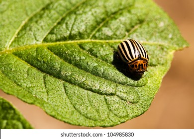 The Colorado beetle sitting on a leaf of potatoes