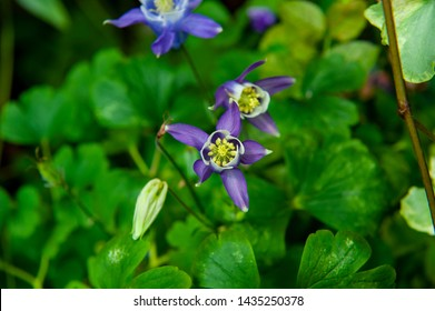 Colorado Blue Columbine (Aquilegia coerulea). Is a species of Aquilegia flower native to the Rocky Mountains from Montana south to New Mexico and west to Idaho and Arizona.
