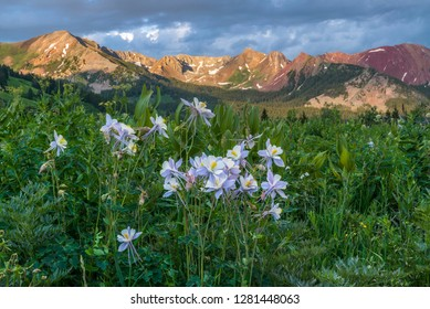 Colorado Columbine, aquilegia caerulea from Gothic Road near Crested Butte, Co