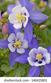 Colorado Columbine Beautiful state flower of Colorado. A grouping of three flowers, the colors are white, lavender and yellow. This flower is also know as The Rocky Mountain Columbine.