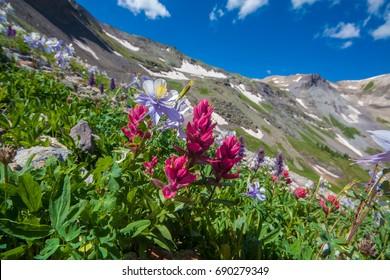 Colorado Columbine and Indian Paintbrush Wildflowers on Imogene
