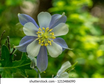 Colorado columbine wild flower, Rocky Mountains