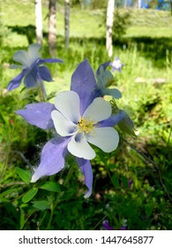 Colorado Columbines in the Rocky Mountains