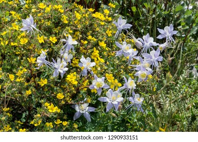 Colorado columbines and shrubby cinquefoil near Blue Lakes in the Colorado Rocky Mountains