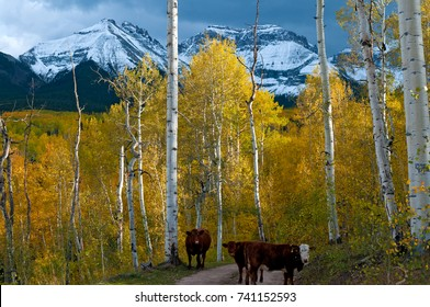 Colorado Cows grazing among an aspen forest near Ridgway Colorado